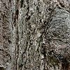 Old-growth Douglas-fir bark from the lower section