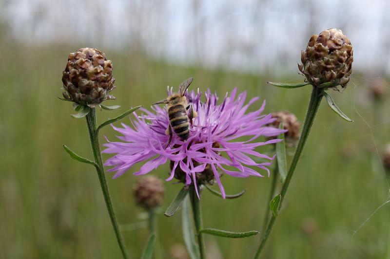 Honeybee on a brown knapweed flower I
