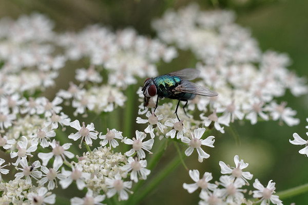 Blow fly feasting on hogweed flowers