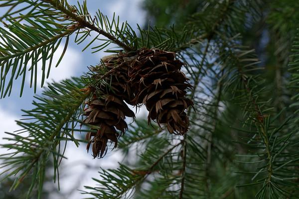 Female Douglas-fir cones on their twig