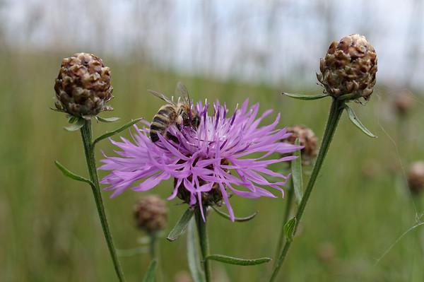 Honeybee on a brown knapweed flower II