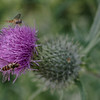 Hoverfly on a spear thistle
