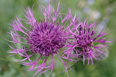 Two greater knapweed flowers, closeup