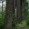 Imposing trunks of the old-growth Douglas-firs