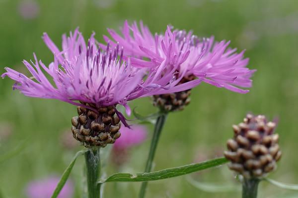 Brown knapweed flowers in full bloom