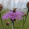 Honeybee on a brown knapweed flower V