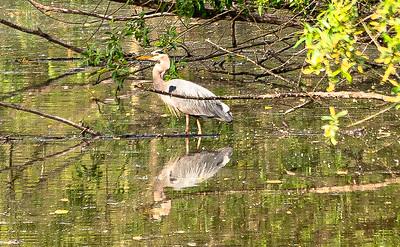 Sauvie Island Egrets-923-2