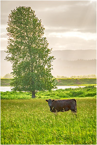 The local cow - Sauvie Oak Island