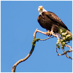 Eagle, Sauvie Oak Island, Portland