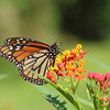 A monarch butterfly lands in a colorful Savannah garden.