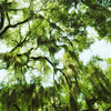 Spanish moss in the live oak trees in one of Savannah Georgia's many squares. It's a good idea to look up sometimes.