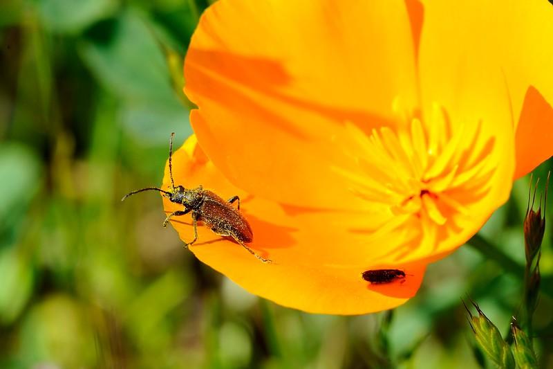 Flower Longhorned Beetle (Brachysomida californica) on a California Poppy (Eschscholzia californica)<br /> 2018 Bioblitz <br /> Save Mount Diablo <br /> April 13-14, 2018 <br /> John Ginochio's Arroyo Del Cerro <br /> 1575 North Gate Rd. <br /> Walnut Creek, CA 94598