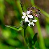 Windmill pink (Silene gallica) <br /> 2018 Bioblitz <br /> Save Mount Diablo <br /> April 13-14, 2018 <br /> John Ginochio's Arroyo Del Cerro <br /> 1575 North Gate Rd. <br /> Walnut Creek, CA 94598