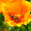 Flower Longhorned Beetle (Brachysomida californica) on a California Poppy (Eschscholzia californica)<br /> 2018 Bioblitz <br /> Save Mount Diablo <br /> April 13-14, 2018 <br /> John Ginochio's Arroyo Del Cerro <br /> 1575 North Gate Rd. <br /> Walnut Creek, CA 94598