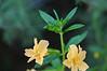 Bush monkeyflower, Mimulus aurantiacus