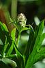 Delphinium californicum ssp. interius; Hospital Canyon Larkspur