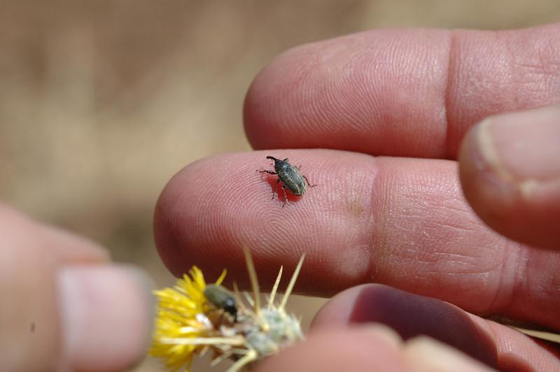 Bud Weevil, Bangasternus orientalis, foreground feeding on bud, background on John Ginochio's finger.