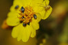 A drama plays out on this tarweed flower.