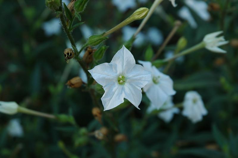 Nicotiana obtusifolia