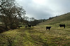 There were at least 50 cows ranging over Mangini on the day I hiked it, January 7th.
