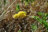 Solidago californica (California goldenrod). (Thanks Heath Bartosh for the ID.)