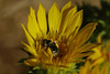 Pollen-laden native bee on grindelia campora.
