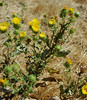 Lots of grindelia campora (gumplant) abloom in late September.