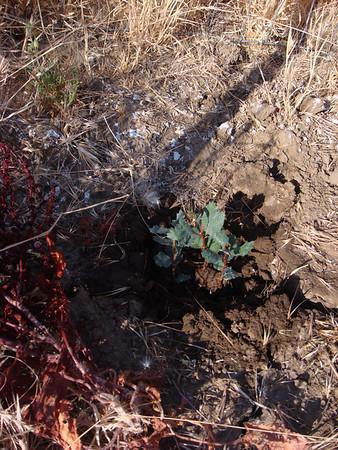 Irish Canyon Oak Seedlings at Six Months