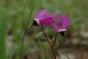 Mosquitobills shooting star, Dodecatheon hendersonii, alas, only one found on South Ridge Trail.