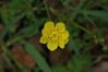 California Buttercup, ranunculus californicus