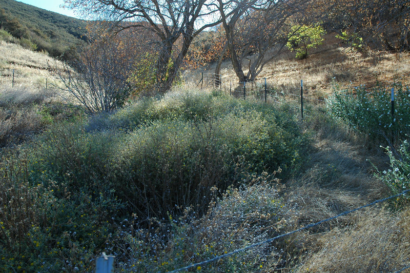 YST thicket in enclosed spring area before Ogden took to it with shears.