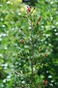 The humble California Bee plant, Scrophularia californica, also California figwort.
