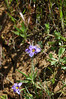Sisyrinchium bellum, blue eyed grass.