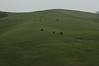 Ginochio's black angus on green hillside.