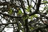 Premature leafing out of blue oak on hillside above desert olives.