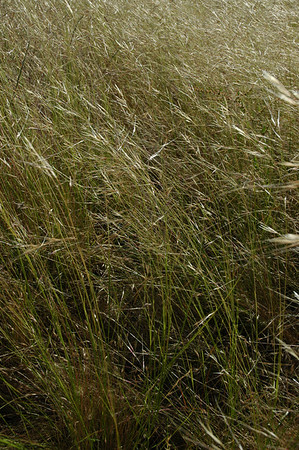 Native Grasses - Northgate and Mangini Ranch