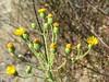 Heterotheca grandiflora (one of ten telegraph weeds). (Thanks, Lesley.)