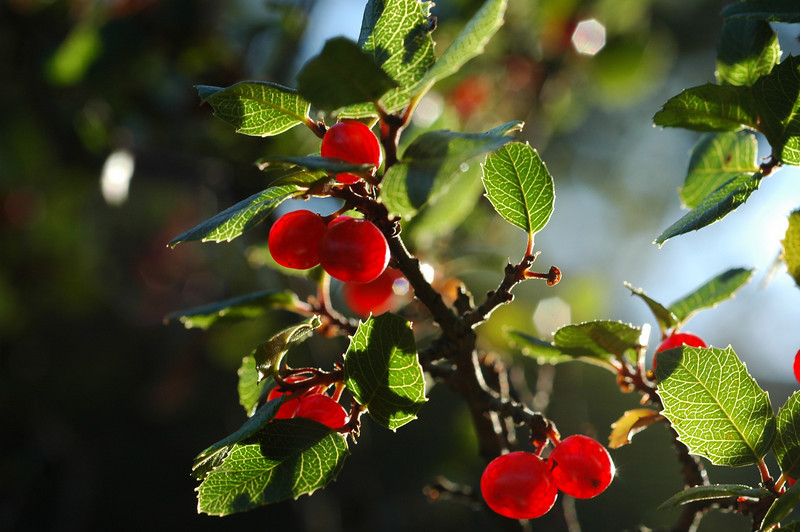 Originally thought to be Coffee berry tree, this error pointed out by David Loeb, and sleuthing by Lesley Hunt led us to reclassify this plant as Rhamnus illicifolia, also called Hollyleaf Redberry and Evergreen Buckthorn.  California native.