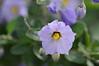 A closer look at Solanum umbelliferum.