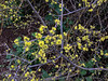 Desert olive plants are bursting with blooms.
