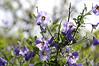 Solanum umbelliferum, blue witch nightshade, draws native bees.