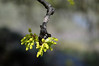 Valley oak blossoms are about to burst open.