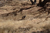 Good bobcat sighting!  In the buckeye grove below the homestead site.