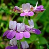 purple Chinese houses  (Collinsia heterophylla)  <br /> Mt. Diablo<br /> Mary Bowerman Trail and North Peak Tral <br /> down from Devil's Elbow. <br /> May 3, 2014