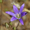Harvest or Elegant Brodiaea (Brodiaea elegans) <br /> Big Bend <br /> Save Mount Diablo <br /> May 18, 2016