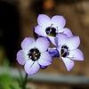 Purplespot Gilia (Gilia clivorum) <br /> Green Ranch Road <br /> Mount Diablo State Park <br /> March 23. 2016