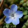 Baby-blue-eyes  (Nemophila menziesii) <br /> Mt. Diablo<br /> Mary Bowerman Trail and North Peak Tral <br /> down from Devil's Elbow. <br /> May 3, 2014