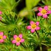 True babystars (Leptosiphon bicolor) <br /> also possibly (Linanthus bicolor) <br /> Big Bend <br /> Save Mount Diablo <br /> March 16, 2016