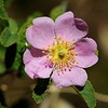 California Wild Rose (Rosa californica) <br /> Donner Canyon Rd. <br /> Mt. Diablo State Park <br /> July 11, 2016