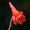 Scarlet (red) larkspur (Delphinium nudicaule) <br /> Mary Bowerman Trail <br /> Mount Diablo State Park <br /> April 28, 2016